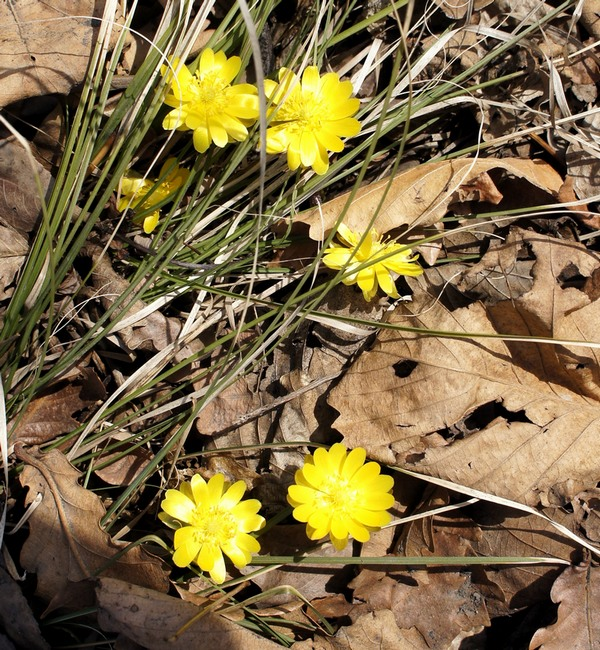 Адонисы - вестники нашей весны.