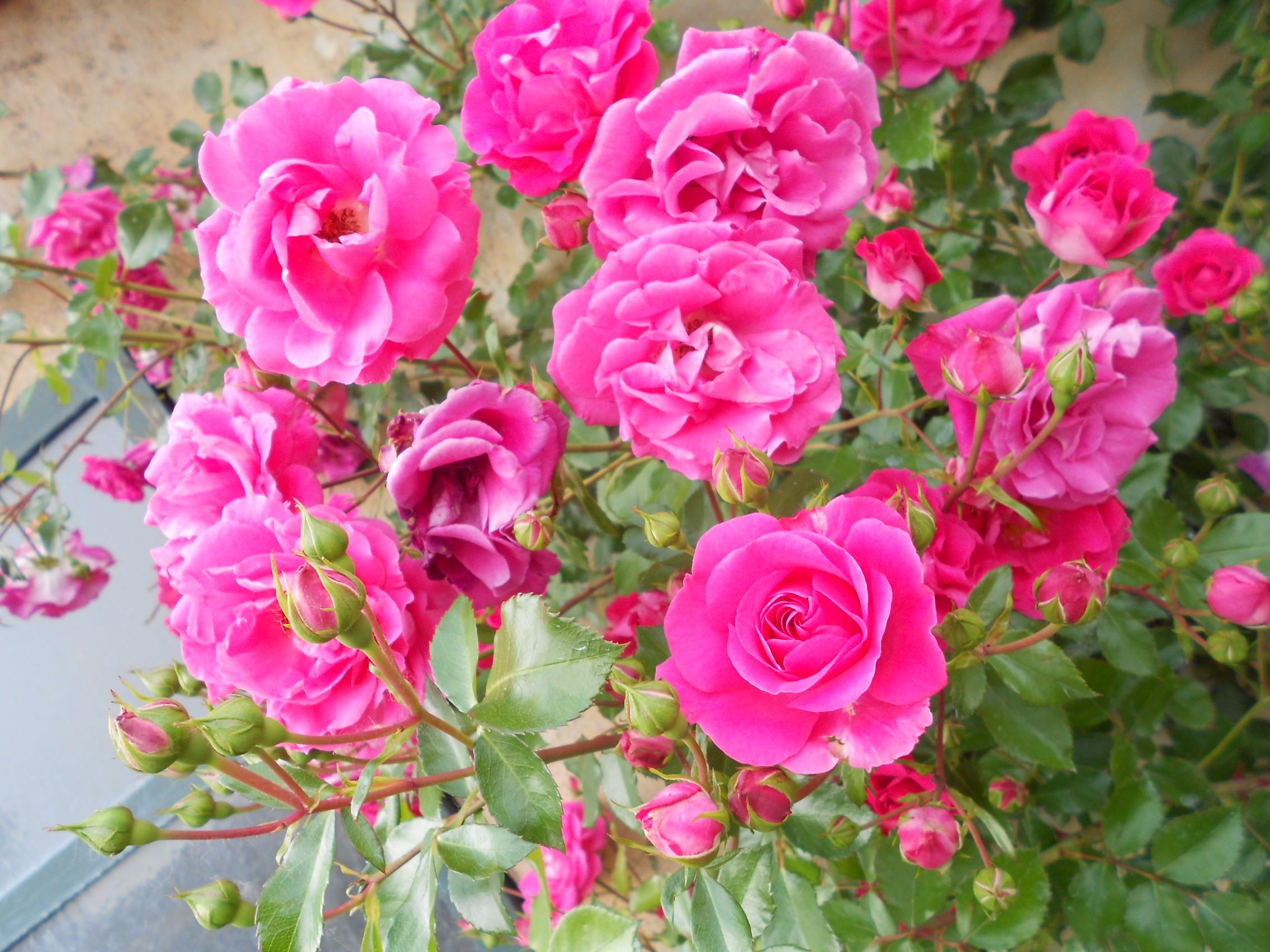 Розовые розы:)