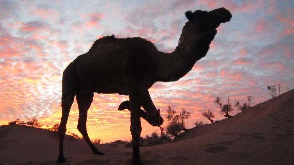 Так нам позировал верблюд в пустыне Марокко